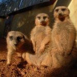 Meerkats at Miami Zoo Review