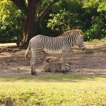 Miami Zoo Review Zebra