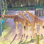 review-blackpool-zoo-giraffes
