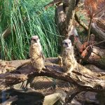 review-blackpool-zoo-meerkats